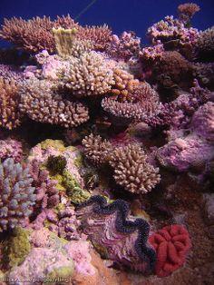 Coral Garden - Acropora coral garden with giant clam (Tridacnidae). Raging Horn, Osprey Reef, Coral Sea