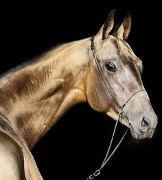Akhal Teke... one of the world's oldest breeds; the only to have a metallic coat