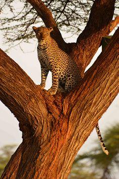 Samburu leopard(by mattjhare)
