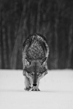 """Wolf """" Stalking by Daniel Ruf on """" Wolf Love, Wolf Spirit, Spirit Animal, Beautiful Creatures, Animals Beautiful, Tier Wolf, Animals And Pets, Cute Animals, Wolf Hybrid"""