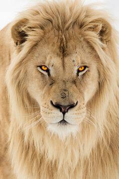 La mirada del León.