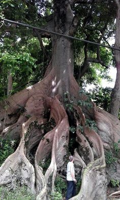 """Ceiba Tree ""en barrio Marin, Patillas PR. ..photo by Mary Vasquez"