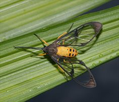 Wasp-mimicking clearwing tiger moth, Chiriqui, Panama by Arthur Anker, via Flickr