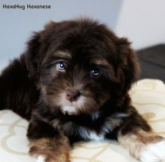 The World's Most Beauitiful Chocolate Havanese Puppies <3 www.havahughavanese.com