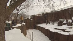 Lion at the Lincoln Park Zoo leaps to get out of the snow