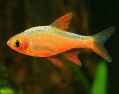 Fire Rasbora,(Rasboroides vaterifloris)Species Profile, Fire Rasbora,(Rasboroides vaterifloris)Care Instructions, Fire Rasbora,(Rasboroides vaterifloris)Feeding and more.::Aquarium Domain.com
