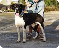 Lathrop, CA - Great Dane/Labrador Retriever Mix. Meet Dwayne, a dog for adoption. http://www.adoptapet.com/pet/14738258-lathrop-california-great-dane-mix