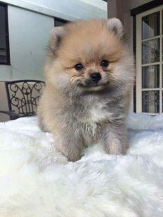 Look at that #pomeranian smile :)