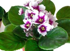 4IN Optimara African Violet - myLove