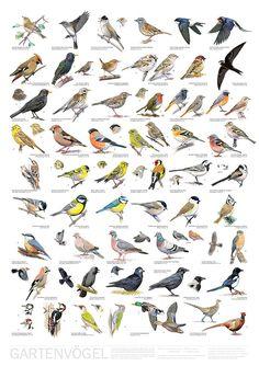 Bird posters, garden birds, woodland birds, farmland birds | Vogelposter, Gartenvögel, Waldvögel, Feldvögel #genealogy - food and drinks