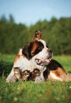 """Who said cats and dogs can't get along? This huge St. Bernard made friends with a group of kittens on Nat Geo Wild's fourth season of """"Unlikely Animal Friends"""" on Feb. 27, 2015."""