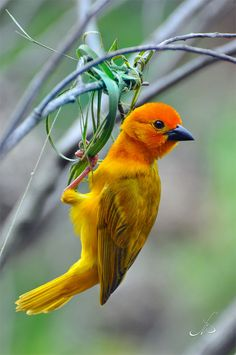 Weaver bird beginning to make a nest