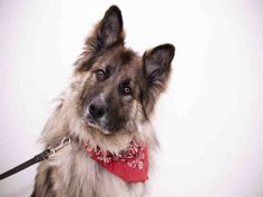 Meet BEAR, an adoptable German Shepherd Dog looking for a forever home. If you're looking for a new pet to adopt or want information on how…