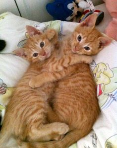 Ginger cats...soooo adorable.  Take two cuz they are adorable. #Cats  #Orange Cats  #Pets