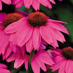 "PowWow Wild Berry Coneflower ""butterfly plants"