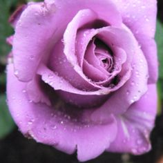 Blue Moon Rose . . . my favourite <3
