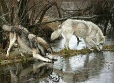 Wolves in wilderness