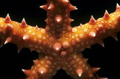 This Egyptian starfish belongs to the echinoderms, a group of invertebrates that includes sea stars, sea lilies, brittle stars, and many other groups.