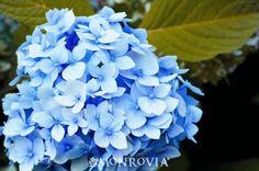 'All Summer Beauty' Hydrangea