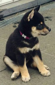 Shiba inu black and tan puppy.  So tired!