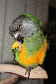 Aggie - poicephalus parrot (Senegal parrot) looking for a home from Mickaboo Companion Bird Rescue (www.mickaboo.org) Pretty Birds, Beautiful Birds, Animals Beautiful, Senegal Parrot, Feathered Dinosaurs, African Grey Parrot, Buy Pets, Kinds Of Birds, Parakeets