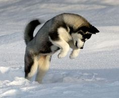 HD Wallpaper and background photos of Pouncing Puppy for fans of Siberian Huskies images.