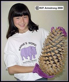Although technically not a fruit, California's coulter pine (Pinus coulteri) has one of the largest seed cones on earth. Of all the more than 100 species of pines in the world, this is one of the most massive cones. They may be up to 14 inches (36 cm) long and weigh more than 8 pounds (3.6 kg).
