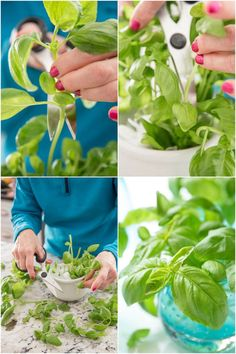 Learn this easy way to root basil from cuttings. It's a great way to stretch your herb budget and have a bountiful supply of fresh basil! Garden Care, Garden Beds, Propagation, Cuttings, Small Glass Containers, Basil Plant, Soil Improvement, Little Plants, Growing Herbs