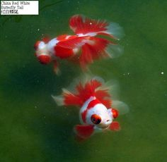 Butterfly goldfish. I am so going to have these swimming in my large Chinese pot one day