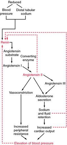 Renin-angiotensin-aldosterone system   definition of renin-angiotensin-aldosterone system by Medical dictionary