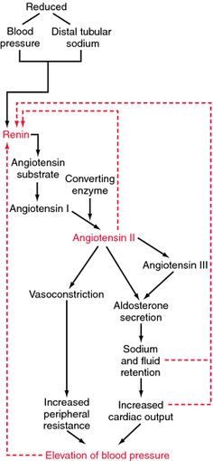 Renin-angiotensin-aldosterone system | definition of renin-angiotensin-aldosterone system by Medical dictionary