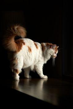 51c4013715 by rampx on Flickr. Turkish Van Cats