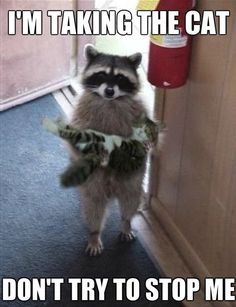 I've definitely already pinned this awhile ago but... the raccoon...and the cat...I just love this picture too much