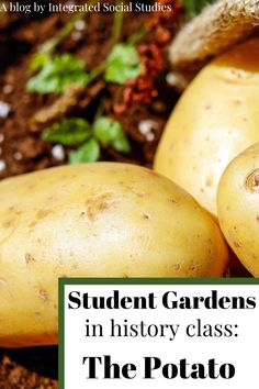 Time is precious in class, I know, but spend half a class and plant some potatos in your classroom especially if you are in district with students who would never have a chance to do such a thing. Seeing how long it takes to grow a plant is a great way to show students how important food storage was throughout history. Read the blog to be inspired and learn about the history of potatos. #worldhistory Study History, History Class, World History, European History, Teacher Blogs, New Teachers, Teacher Hacks, 3rd Grade Social Studies, Social Studies Activities