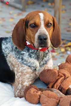 So gorgeous - his coat of many colors! Coat Of Many Colors, Hunt Club, Adorable Puppies, Hound Dog, Moose, Brother, Meet, Life, Animals