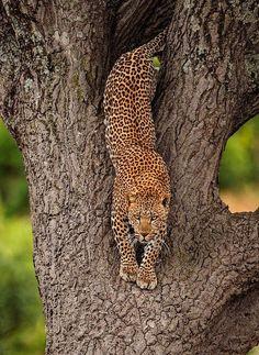 wildlife:Leopard Masai Mara by mohan.thomas by beautiful-wildlife Nature Animals, Animals And Pets, Cute Animals, Wildlife Nature, Beautiful Cats, Animals Beautiful, Wildlife Photography, Animal Photography, Big Cats