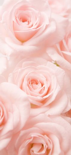 From Pink to Peach: The Meaning Behind Every Rose Color Revealed - AeStHeTiC - Hintergrundbilder Pink Rose Bouquet, Coral Roses, Peach Peonies, Flower Bouquets, Peach Rose, Blush Roses, White Roses, Rose Pastel, Light Pink Rose