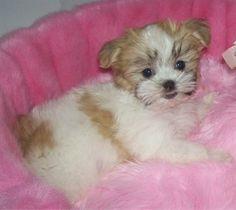 mal shih tzu breeding | Bella, a Mal-Shi (Maltese / Shih Tzu mix) at 13 weeks, weighing 3 ½ ...