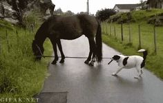 An adorable GIF of a dog finding out how difficult it is to walk a horse...