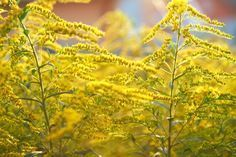 Plants That Aid in the Wound Healing Process - Advanced Tissue Goldenrod Flower, Marigold Flower, Yellow Flowering Plants, Spring Allergies, Wound Healing, Top Travel Destinations, Polish Recipes, Photo Backgrounds, Per Diem