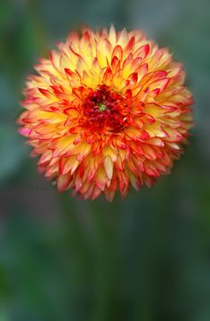 ~~Arena's Sunset | a stunning laciniated light orange blend dahlia | by Robin Evans~~