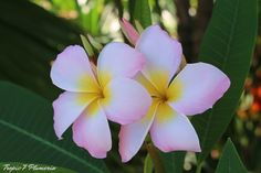https://flic.kr/p/s9pRzs | Plumeria Caribbean Breeze | Morning capture, soft pink like the conch shell & bright yellow like the sunrise and white like the islands sands. Fragrance is sweet plumeria
