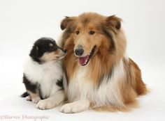 Rough-Collie-dog-and-puppy http://fordirtydogs.com 10% off with coupon khutch