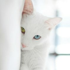Beautiful White Cat with Complete Heterochromia (two different eye colors)