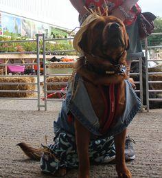 Farmer Bear Needham Dog Show, Farmer, Bear, Hair Styles, Dogs, Hair Plait Styles, Hair Makeup, Doggies, Farmers
