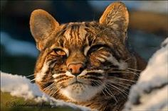 Asian golden cat by kaeryn on flickr animals horses cats asian golden cat asianworld mapsbig gumiabroncs Gallery