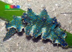 Nudibranch 277