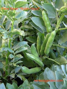 A fine new English variety that produces especially succulent fava beans high in protein, fiber and rich in vitamins A and C. These bushy plants produce early and don't need staking.