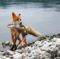 Red Fox by Gennady Yusin