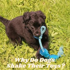 Why Do Dogs Shake Their Toys? Large Dogs, Small Dogs, Whoodle Dog, Tiny Dog Breeds, Dog Growling, Dog Shaking, Prey Animals, Dog Commands, Dog Paws